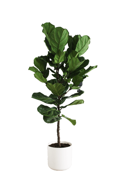 PLNTY - Ficus